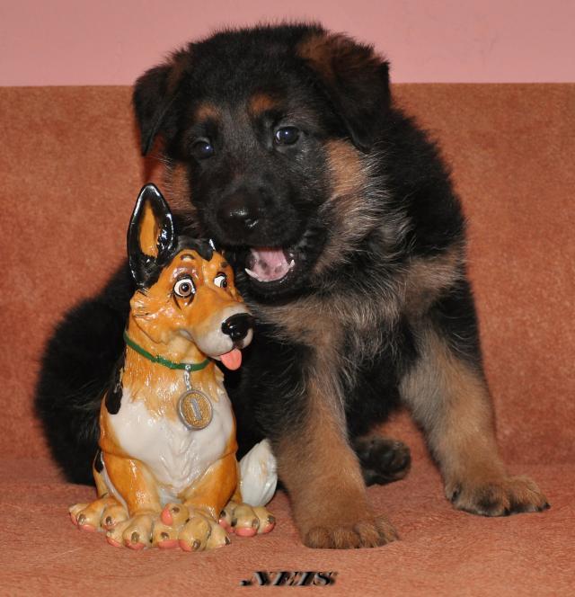 Предлагаются к продаже щенки Немецкой Овчарки ( д.р. 3.02.2011 г...