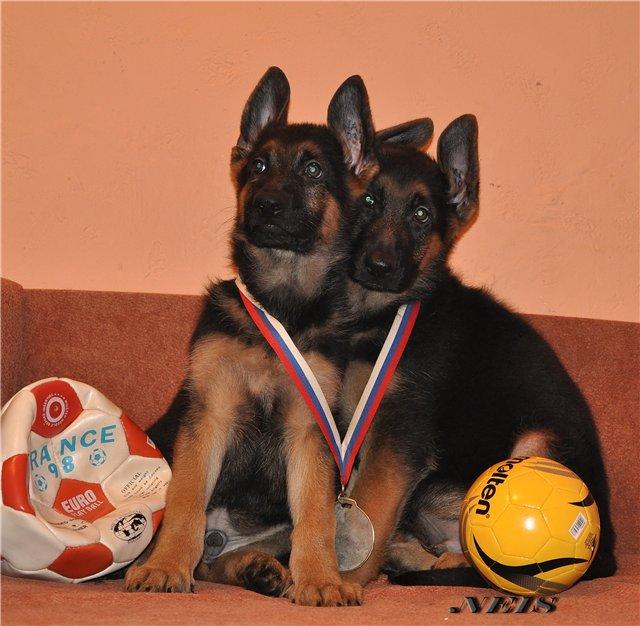 KOALAMANIA - фотографии животных и фотообъявления.  Немецкая овчарка - продажа щенков Фото:6964.jpg